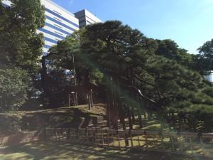 300-летняя сосна